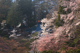 福泉寺の桜
