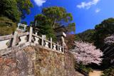 陶山神社の桜