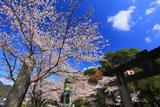 有田の桜並木