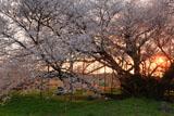 一心行の大桜の貫禄の幹