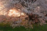 朝日に透ける一心行の大桜