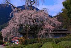 岡田家のしだれ桜