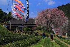 五ヶ瀬町の桜