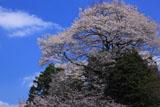 尾迫八幡桜