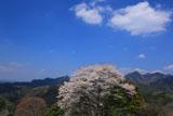 青空と尾迫八幡桜
