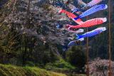 鯉のぼり泳ぐ五ヶ瀬町の桜