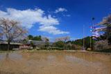 五ヶ瀬町のしだれ桜 水田と鯉のぼり