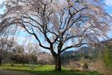 三ヶ所小学校のしだれ桜