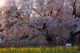 血潮通う一心行の大桜