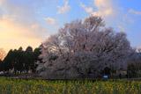 一心行の大桜と早朝の観光客