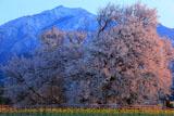 熊本県の桜
