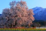 阿蘇と一心行の大桜