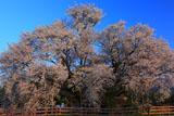さようなら一心行の大桜
