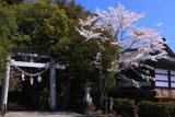 宮崎美郷町 神門神社の桜