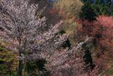 ひむか神話街道の桜