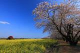 西都原古墳群の桜並木
