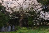 宮の目の畑蒔桜