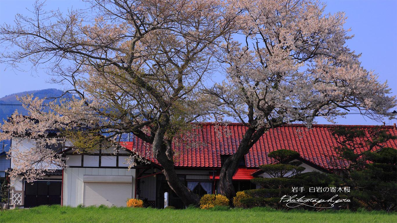 芝桜と白岩のエドヒガン・イヌザクラの寄木 壁紙