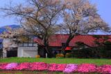 芝桜と白岩のエドヒガン・イヌザクラの寄木