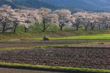 遠野市 綾織の桜並木