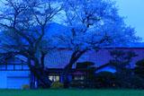 白岩のエドヒガン・イヌザクラの寄木
