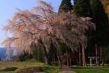 おしら様の枝垂れ桜の全体像