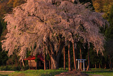秋田県の桜