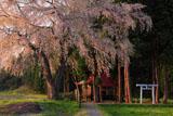 白山神社の枝垂れ桜