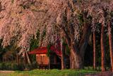 おしら様の枝垂れ桜の樹幹と社