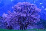 西蔵王牧場の大山桜(西行桜)