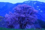西蔵王牧場の大山桜と瀧山