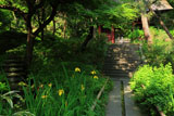 鎌倉妙法寺のキショウブ