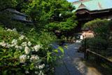 鎌倉妙法寺 ウツギと本堂