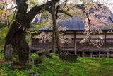 石仏と注連寺七五三桜