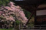 本堂と注連寺七五三掛桜
