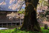 注連寺の七五三掛桜の樹幹