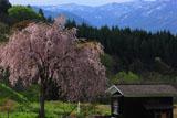 七五三掛の枝垂れ桜