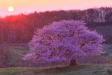 朝陽と亀ヶ森の一本桜