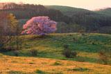 丘に紅一点の亀ヶ森の一本桜
