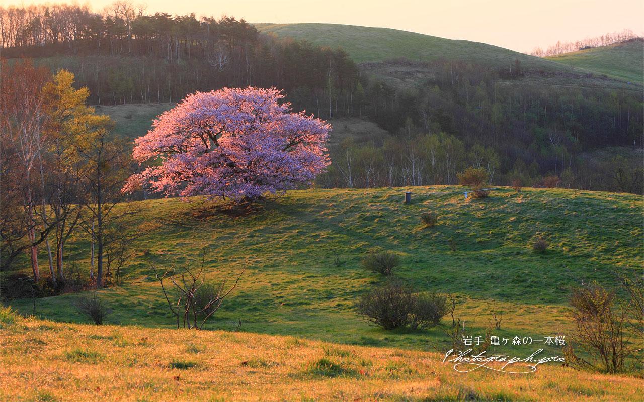 丘に紅一点の亀ヶ森の一本桜 壁紙
