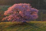 耀く亀ヶ森の大山桜