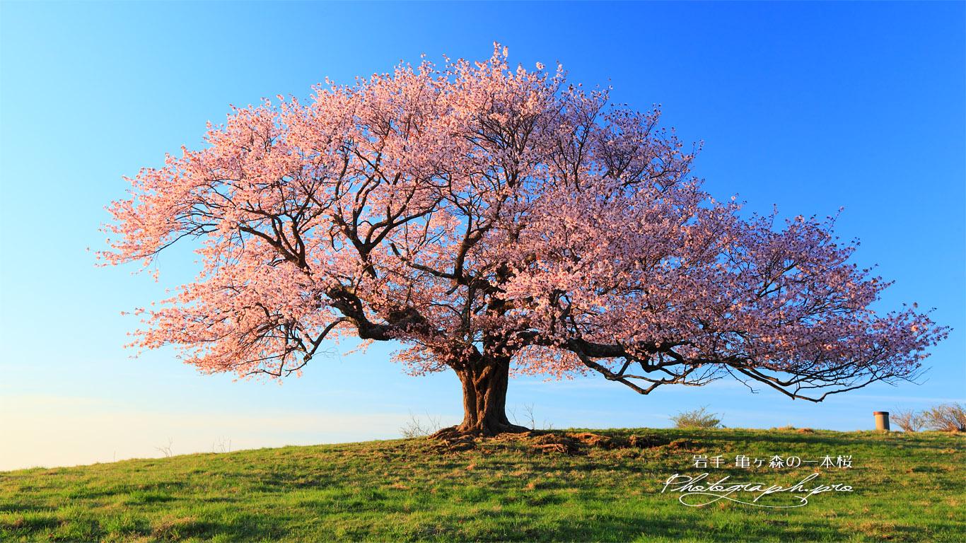 一本桜の見事な立ち姿 壁紙