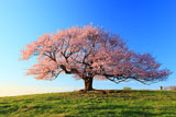 一本桜の見事な立ち姿