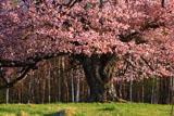 大山桜のぶっとい幹