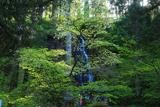羽黒山の桜 須賀の滝