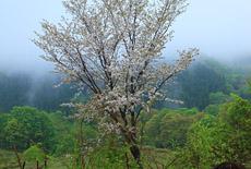 白神山地の桜