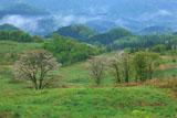 白神山地 牧場の桜