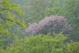 八甲田の桜 春時雪