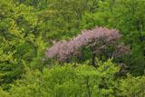 八甲田の桜 新緑