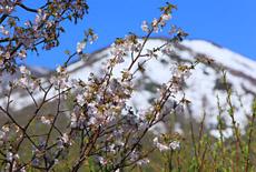 八甲田の桜